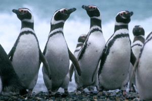 Pingüins-de-magalhães em Cabo Vírgenes, Argentina. Foto Margi Moss